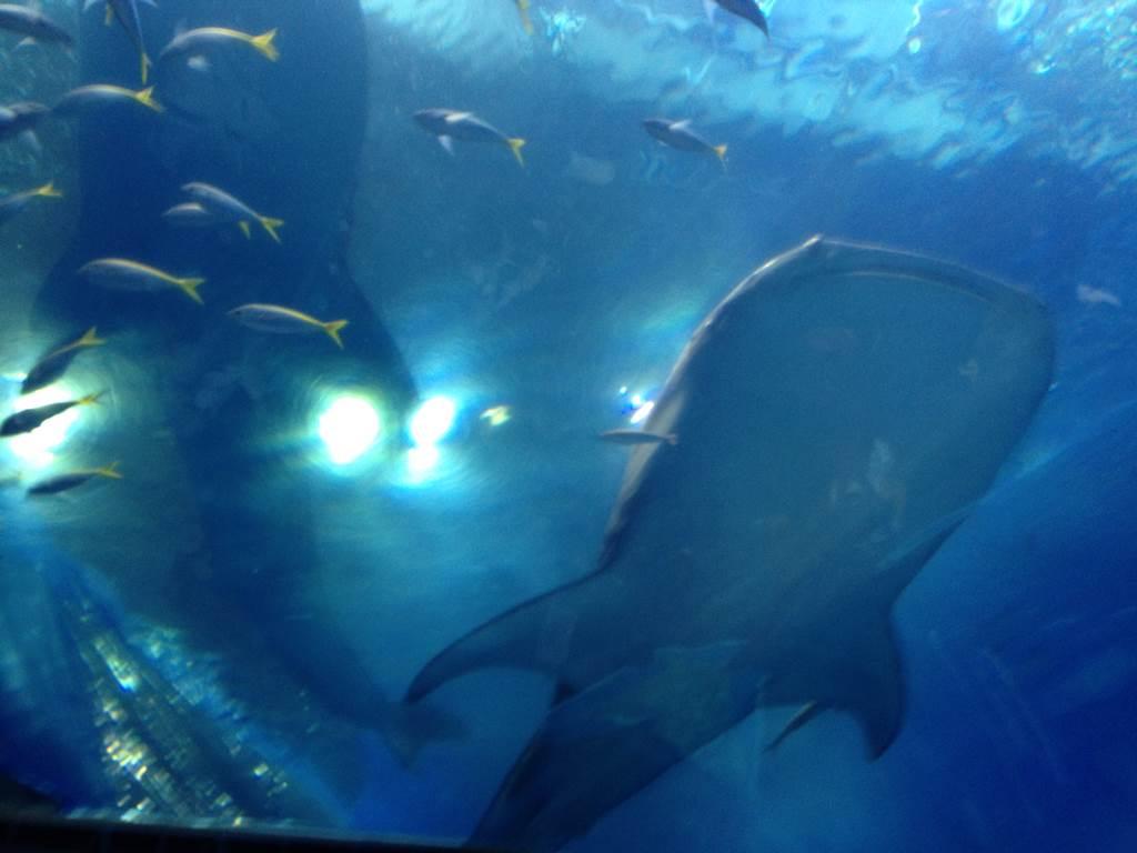 アクアルームから見たジンベエザメ